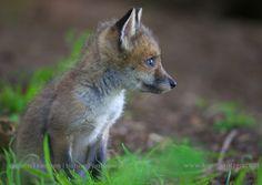 Baby Red Fox (Vulpes vulpes)  koenfrantzen.com