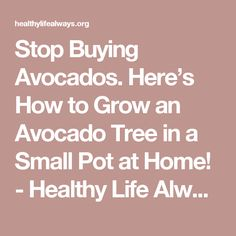 Stop Buying Avocados. Here's How to Grow an Avocado Tree in a Small Pot at Home! - Healthy Life Always