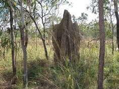 Cathedral Termite Mound This mound is home to a colony of grass eating termites, Nasutitermes triodiae. It's about 5 meters high and could be over 50 years old.