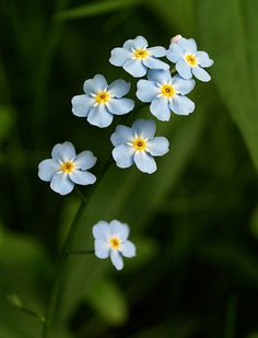 Planting Forget Me Not Flowers | Smokey Mountain Flora, blue and purple flowers - Hiking Images dot com
