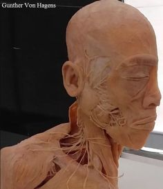 Gunther Von Hagens, People, Statue, People Illustration, Sculpture, Sculptures