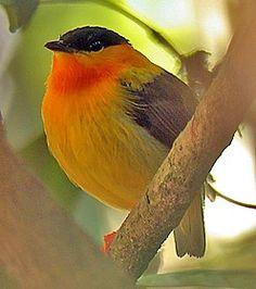 Orange-collared Manakin, endemic breeder resident in Costa Rica and western Panama