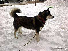 What Is The Proper Position Of A Siberian Husky Tail According To CKC?