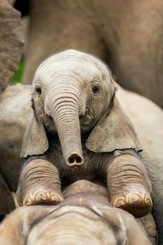 Baby Elephant - love the heart nose! Cute Creatures, Beautiful Creatures, Animals Beautiful, Cute Baby Animals, Animals And Pets, Funny Animals, Wild Animals, Animals Planet, Animal Original