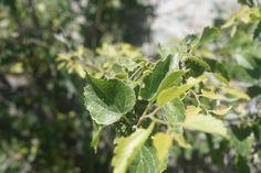 6 m boylanabilen, kışın yapraklarını döken, çalı veya ağaççık formunda odunsu bir türdür. Sürgünler ince, yumuşak ve kısa tüylüdür. Yapraklar 2-6x1.5-4.5 cm boyutlarda, uzunluğun genişlik iki katından az; genişçe yumurtamsı, sıklıkla belirgin asimetrik, bazen kalp şeklinde; daralan veya sivri uçlu; testere dişli  veya tırtırlı kenarlı; alt yüzeyi az derecede ince yumuşak kısa; alt kısmı daha açık olmak üzere mat yeşil renktedir. Çiçeklenme dönemi mart-Nisan aylarındadır. Meyve tek çekirdekli…