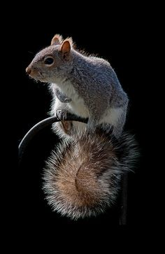 Nature - Furry squirrel on a bird feeder hook. - title Squirrel Tail - Black background