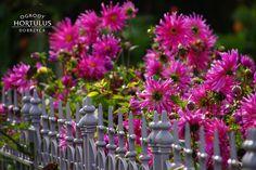 Ogrody Hortulus Spectabilis to zespół ogrodów o powierzchni około 6 ha, w którym znajdziemy: magiczny kamienny krąg, Ogrody 4 Pory Roku, Ogród Zegarów, Ogród Kalendarz Celtycki oraz angielskie rabaty bylinowe cieszące oko kolorami i elementami architektonicznymi, rosarium z parterami bukszpanowymi, ale również ogrody węzłowe i topiary bukszpanowe. #jesien #ogrod #garden #autumn #kompozycjajesienna #ogrodozdobnyjesienia #aster #plotozdobny #metaloweogrodzenie #angielskistyl #wieloletnie… Plants, Plant, Planets