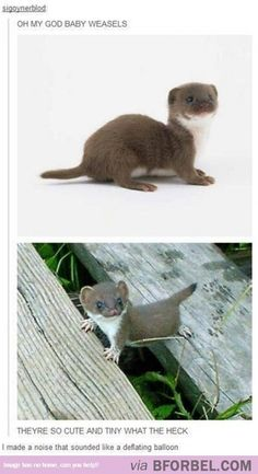 Baby Weasels…