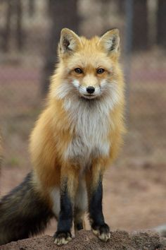 "radivs: "" Red Fox by amzimme """