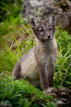 ~~Arctic Fox Pup by David Taylor~~