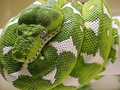 Beautiful Green Emerald Tree Boa Snake Name: Corallus caninus Family: Boidae Size: 4 to 8 feet Range: South America. Pretty Snakes, Beautiful Snakes, Wild Animals Pictures, Animal Pictures, Reptiles And Amphibians, Mammals, Ecuador Animals, Beaux Serpents, Beautiful Creatures