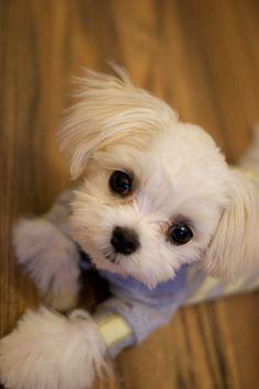 Maltese pupp #maltese puppy