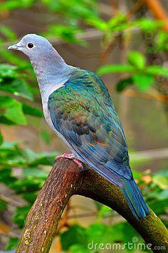 Green imperial pigeon by Sanjay Pindiyath