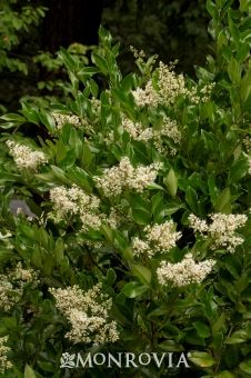 Japanese Privet (Ligustrum japonicum) 8-10' T 5-7' W. Fast growing Evergreen shrub Part to full sun. Blooms in spring. Great hedge plant