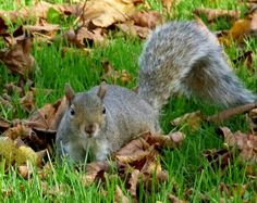 British Grey squirrel