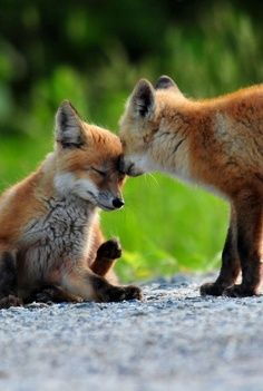 Amazingly cute foxes