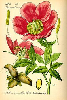 File:Illustration Paeonia mascula0.jpg