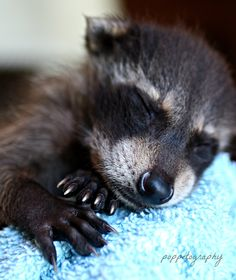 A raccoon kit sleeps after being fed @ Wildlife Rescue in Herrick, IL by Poppet Maulding