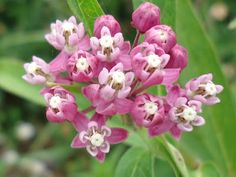 Asclepias - Butterfly Weed