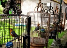 Bird markets in Indonesia are caging and selling millions of rare and endangered birds due to a lack of law enforcement. Sign this petition to demand that the Indonesian government takes a strong stance against illegal bird trading activities and help protect these threatened species.