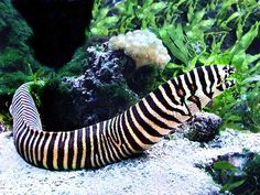 Zebra Moray Eel or grilled sushi for my tummy! (gymnomuraena zebra) (home aquarium) Saltwater Aquarium Beginner, Saltwater Aquarium Fish, Saltwater Tank, Home Aquarium, Reef Aquarium, Cichlid Aquarium, Underwater Animals, Underwater Life, Marine Aquarium