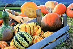 Even though Pumpkin seeds are small, they're packed full of valuable nutrients. Let me show you how to roast Pumpkin seeds. Do not waste Pumpkin seeds. Pumpkin Garden, Pumpkin Vegetable, Roasted Pumpkin Seeds, Roast Pumpkin, Bush Beans, Starting A Vegetable Garden, Canning Tomatoes, Garden Guide, Pumpkin Decorating