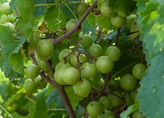 Growing muscadines - recommended varieties, cultivation techniques, and pest info.