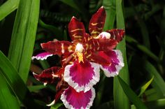 Odontoglossum Remember Violetta | by Nurelias