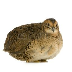 The earliest records of domesticated Japanese quail populations are from 12th century Japan; however, there is evidence that the species was actually domesticated as early as the 11th century.