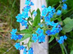 Organic Blue Forget Me Not Flower Seeds  Plant a by SevenAcreWoods, $2.28