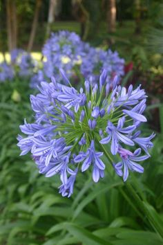 Agapanthus 'Blue Leap', Blue Leap Lily of the Nile, or just agapanthus is hardy and noted for its numerous, extra-large heads of medium-blue flowers. Agapanthus Blue, Most Beautiful Flowers, Planting Flowers, Flower Gardening, Star Shape, Bright Green, Blue Flowers, Shrubs, Flower Power