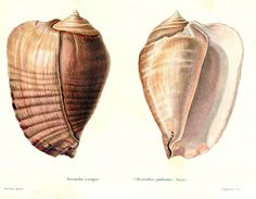 """A_colored_drawing_of_a_shell_of_""""Strombus""""_galeatus_from_Kiener,_1843.jpg (2628×2048)"""