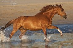 Chestnut horse running in the water