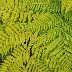 Tropical #ferns #dominica #caribbean
