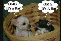 It's a rat !!!
