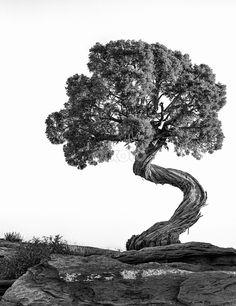 Twisted Juniper Tree by David Bair
