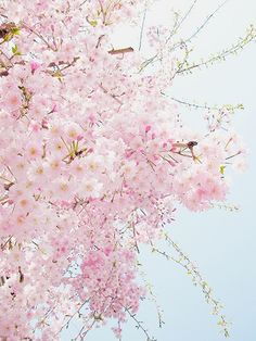 Free photo Cherry Blossom Spring Pink Free Image on Pixabay Beautiful Flowers, Beautiful Pictures, Sakura Cherry Blossom, Cherry Blossoms, Sakura Sakura, Image Nature, Spring Blossom, Pink Aesthetic, Spring Flowers