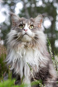 Interested in owning a Maine Coon cat and want to know more about them? We've made this site to tell you all you need to know about Maine Coon Cats as pets Kittens Cutest, Cats And Kittens, Ragdoll Kittens, Tabby Cats, Funny Kittens, Bengal Cats, White Kittens, Black Cats, Kitty Cats