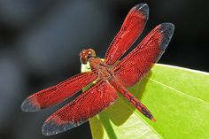 Bali Red Dragonfly, We all living beings are made of the same energy and substance either mater or antimatter, therefore we have to respect life in all its disguises, don't support animal killing for meat and pollution, go vegan and green for all, NinaOhman, http://www.ninaohmanarts.com