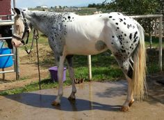 Splashed white near leopard appaloosa. I'd love to see a better photo of this unique horse.