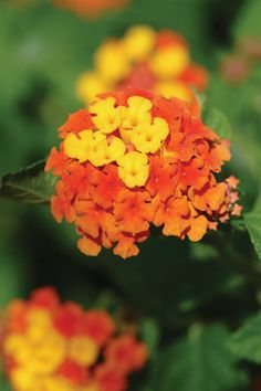 Lucky™ Lantana Series. Incredible flowers, bursting with yellow, orange, red and fuschia color, in a plant that is super drought resistant and loves heat.