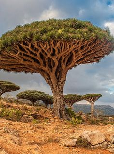Socotra, Yemen (small island in the Arabian Sea known for its unique dragon blood trees. about of the plant life on Socotra exists nowhere else in the world) Dragon Blood Tree, Dragon Tree, Dracaena Cinnabari, Up Imagenes, Weird Trees, Unique Trees, Beautiful Places In The World, Plantation, Mother Earth