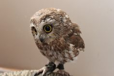 Tiny Gizmo the owl