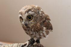 I love baby owls!