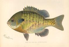 "Sherman F. Denton ""Blue Gill Sun Fish"" 1903"