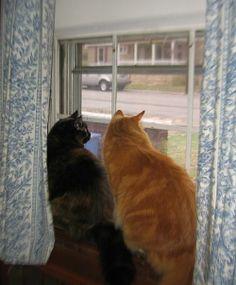 BℓαᏣƙ/Ginger  =^.^= CÅt§ in the Window