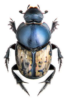 onthophagus marginalis The Effective Pictures We Offer You About Arthropods A quality picture can te Beetle Insect, Beetle Bug, Insect Art, Bug Insect, Cool Insects, Bugs And Insects, Especie Animal, Beautiful Bugs, Beautiful Pictures