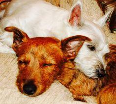 Love my babies. Corgi/terrier mix and a west highland!