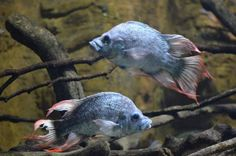 Ptychochromis insolitus - males. An exteremely rare and almost extinct Madagascar cichlid. Read the articles offered on the Web about the dramatic/desperate search for females yet in the wild. In the end a real feel good story and ultimate hope for this species albeit a life in aquariums.