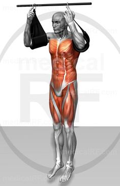 High-end medical image : The muscles involved in performing hanging leg raises. The agonist (active) and stabilizer muscles are highlighted. Pull Up Workout, Workout Tips, The Agonist, Fitness Tips, Health Fitness, Hanging Leg Raises, Bodybuilding, Workout Rooms, Easy Workouts